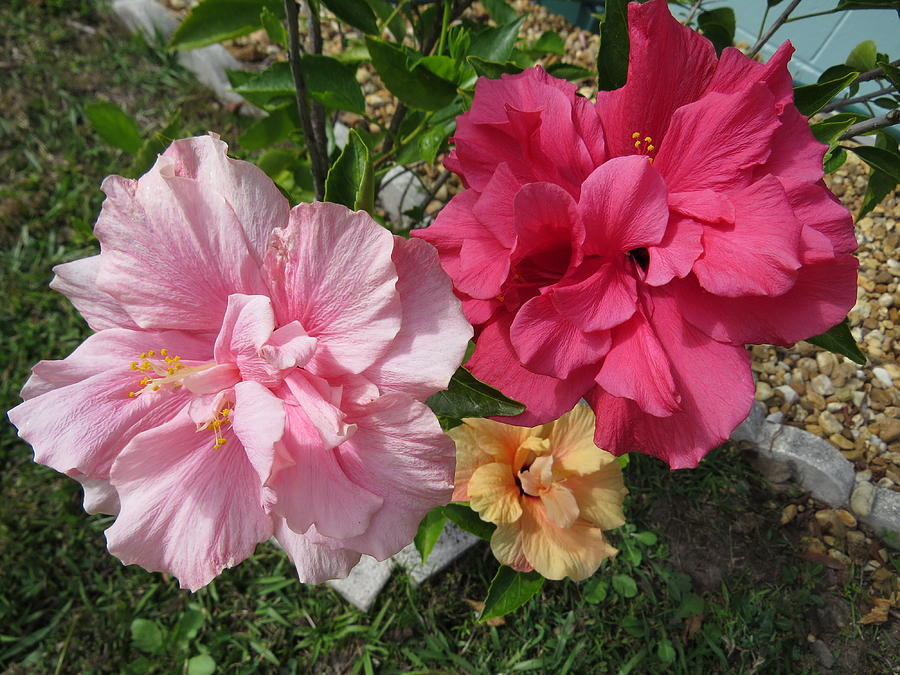 Colorful Hibiscus Photograph