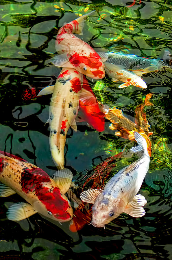 Colorful japanese koi fish by jennie marie schell for Koi japanese art