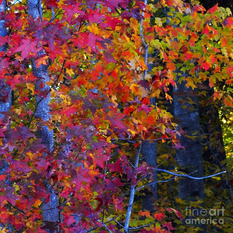 Colorful Maple Leaves Photograph