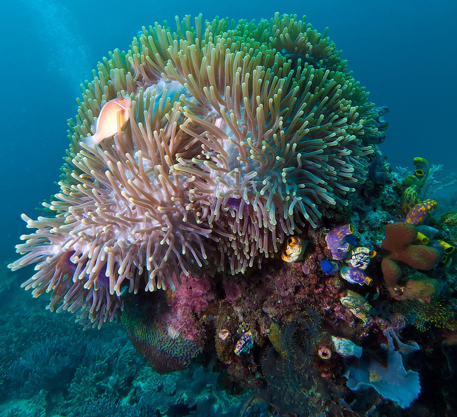Colorful Tropical Coral Reef And Clown Fish Photograph by ...