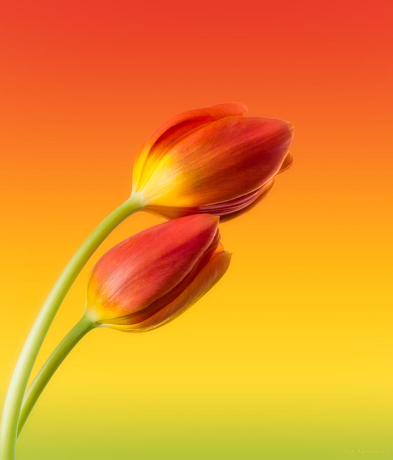 Colorful Tulips V1 Photograph