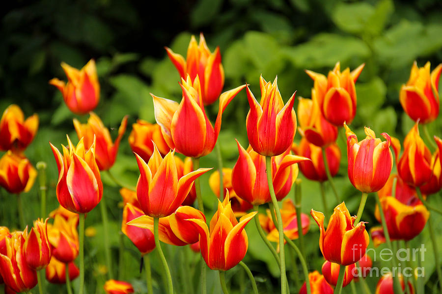 Colorful Wild Tulips Photograph By Kerstin Ivarsson