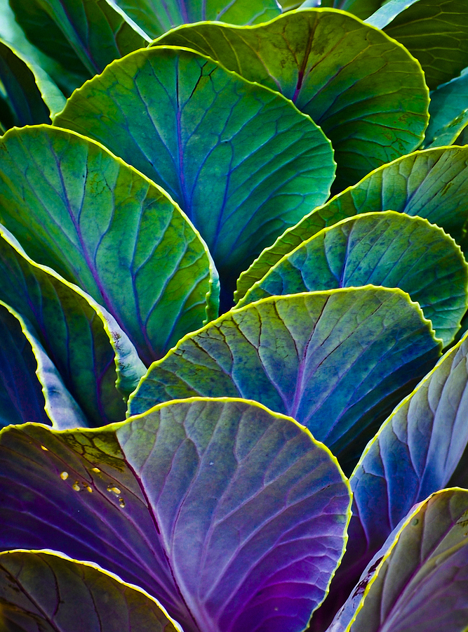 Organic Photograph - Colors Of The Cabbage Patch by Christi Kraft