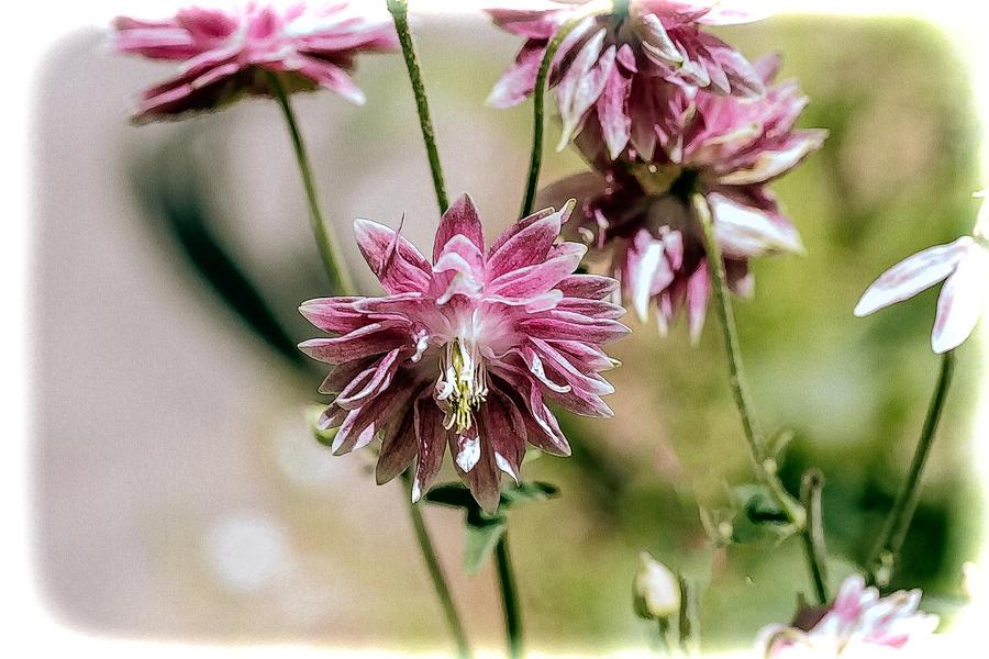 Columbine aquilegia vulgaris nora barlow pink photograph