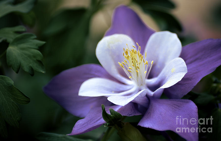 Columbine In Lavender Photograph