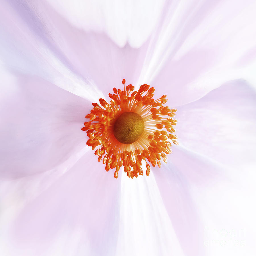 Come Closer - White Orange Pink Abstract Close Up Flowers Fine Art Photography - Square Photograph  - Come Closer - White Orange Pink Abstract Close Up Flowers Fine Art Photography - Square Fine Art Print