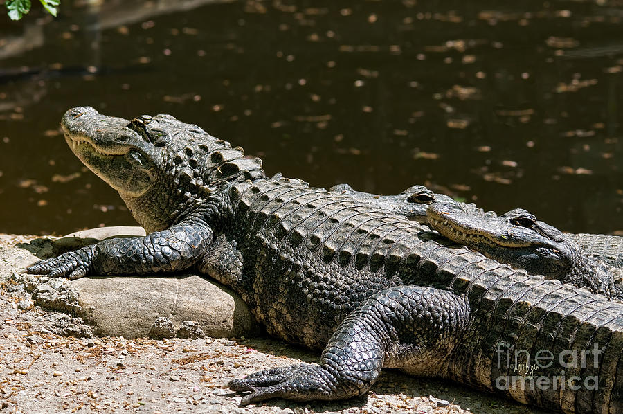 Alligator Photograph - Comfy Cozy by Lois Bryan