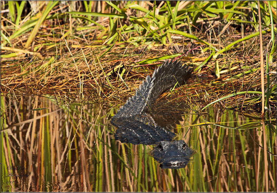 Alligator Photograph - Comin At Ya by Stanley Lupo
