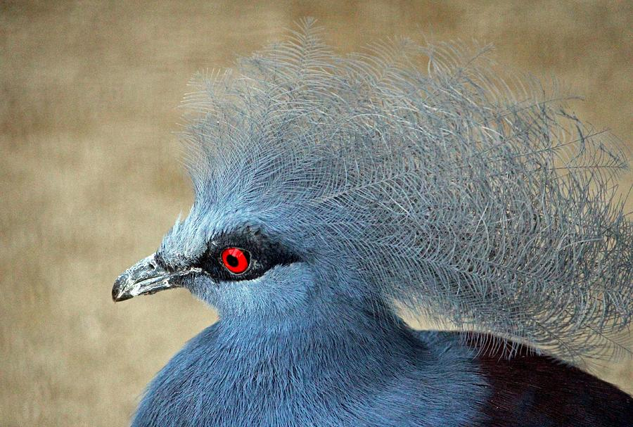 Bird Photograph - Common Crowned Pigeon by Cynthia Guinn