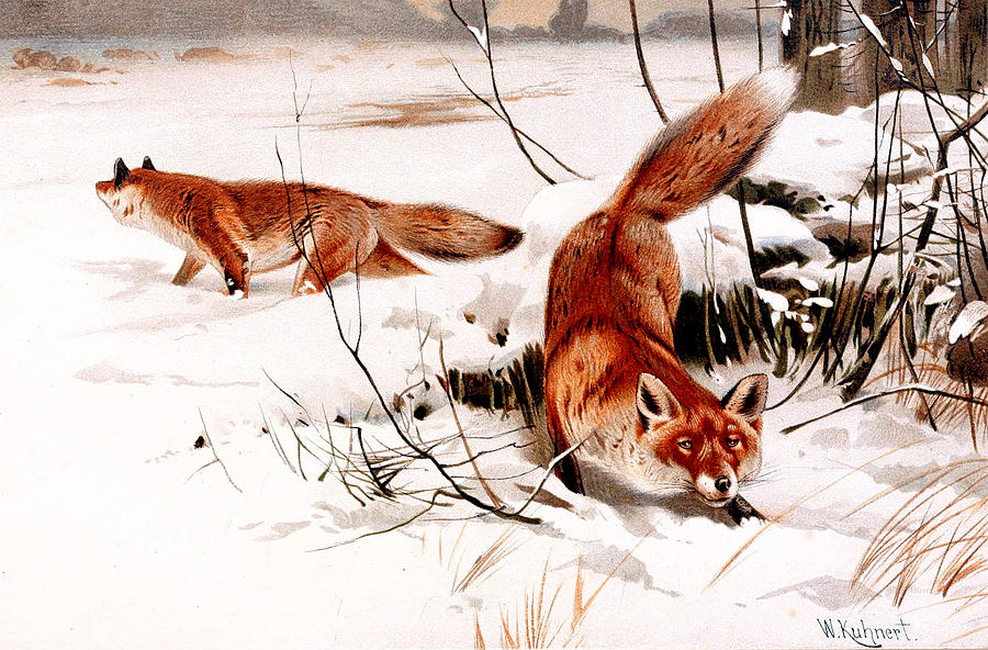 Common Fox In The Snow Digital Art  - Common Fox In The Snow Fine Art Print