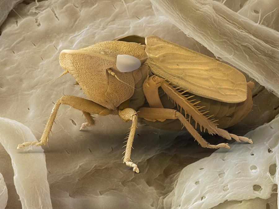 Common Froghopper, Sem Photograph