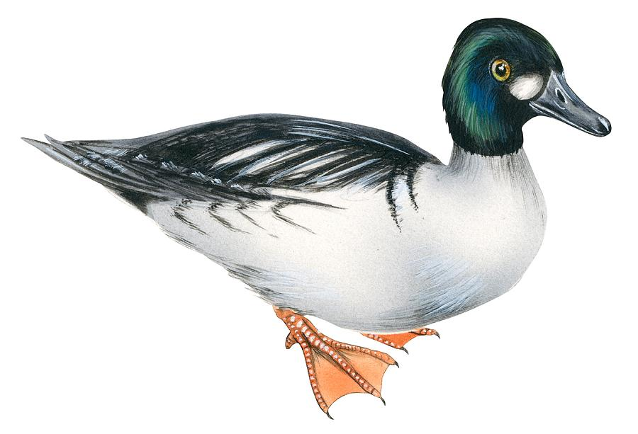 Common Goldeneye  Drawing