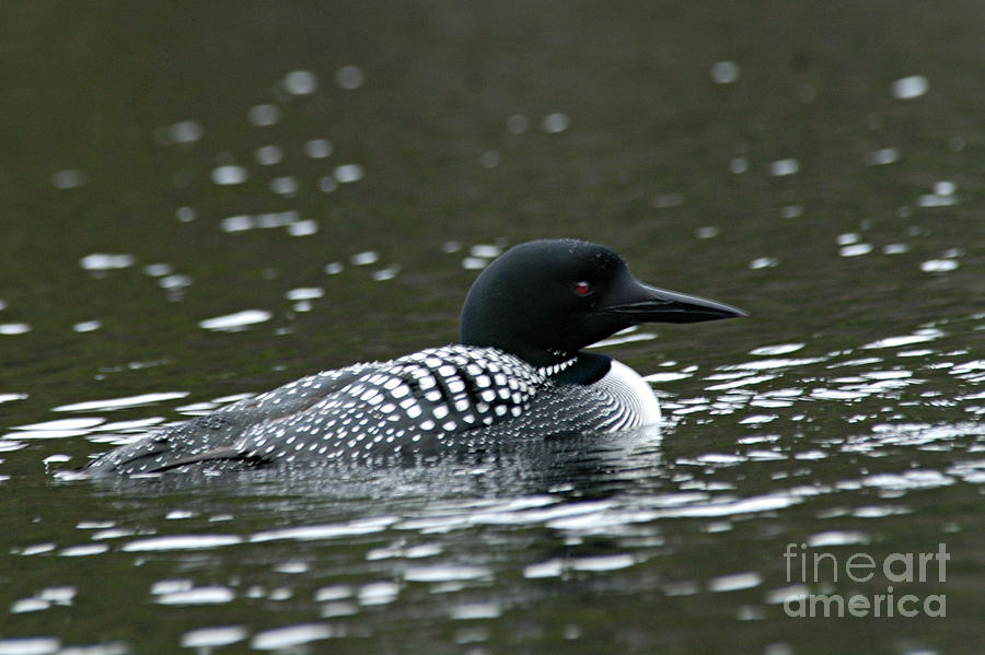 Common Loon 3 Photograph  - Common Loon 3 Fine Art Print