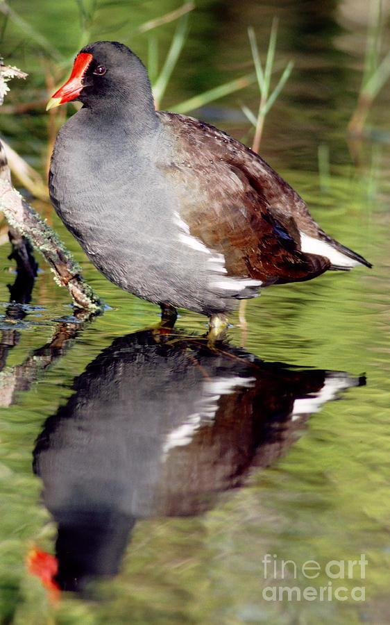 Fauna Photograph - Common Moorhen Gallinula Chloropus by Millard H. Sharp