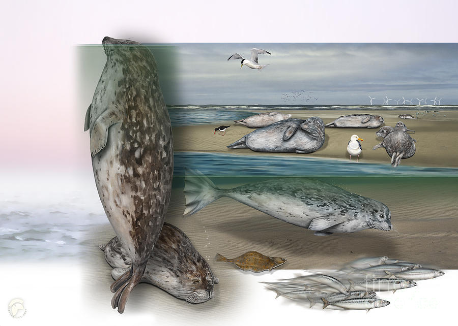 Common Seal - Harbour Seal - Harbor Seal - Habitat - Nature Interpretive Panel Painting