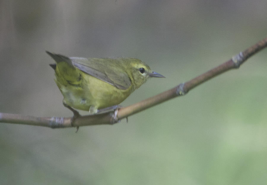 Common Yellowthroat Female Photograph
