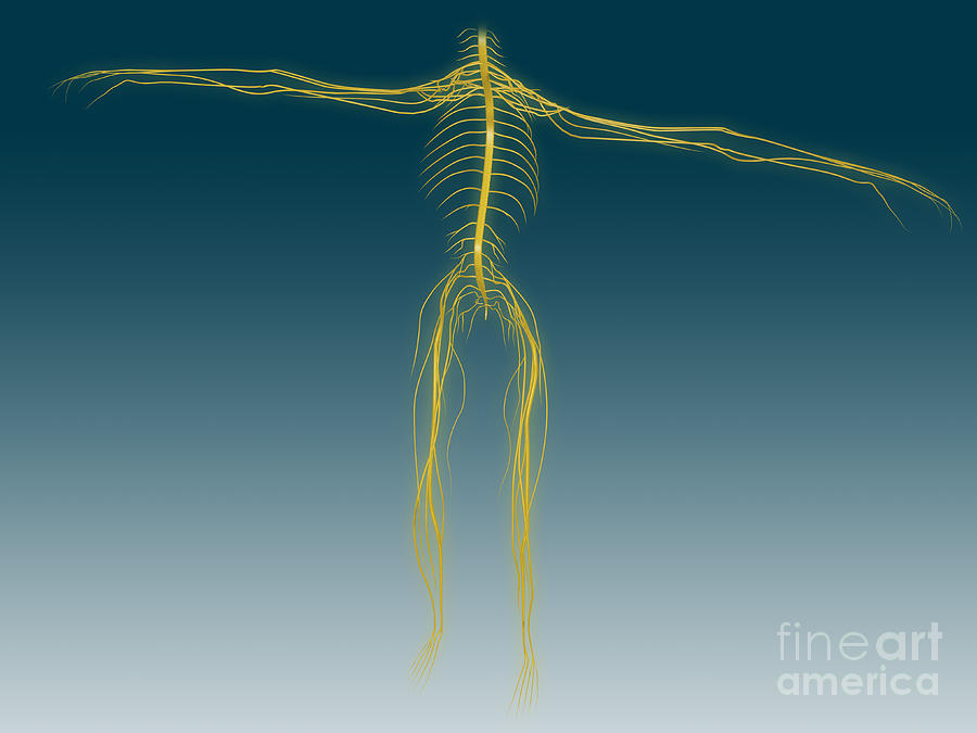 Conceptual Image Of Human Nervous Digital Art