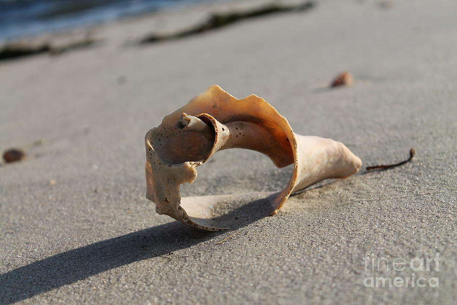 A See Through Conch Shell Located On A West Dennis Beach Photograph - Conch On The Beach by John Doble