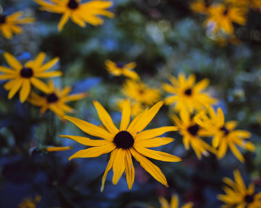 Cone Flowers Photograph