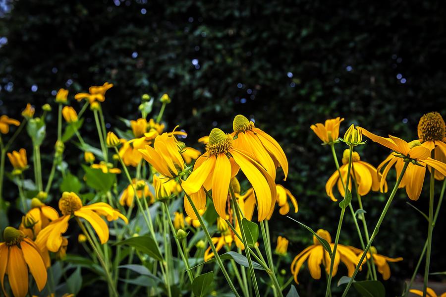 Coneflowers Echinacea Yellow Painted Photograph