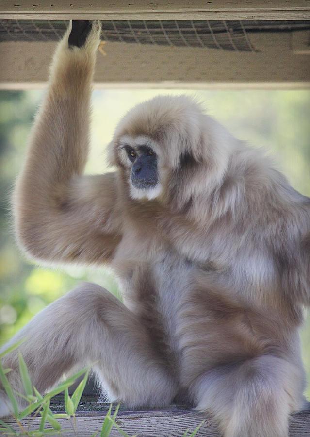Contemplating Gibbon Photograph