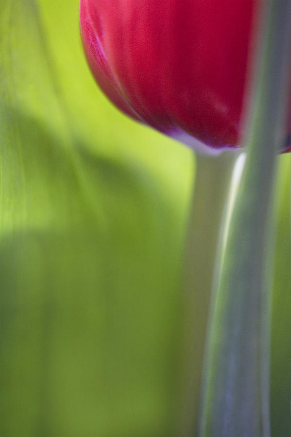 Contemporary Tulip Close Up Photograph