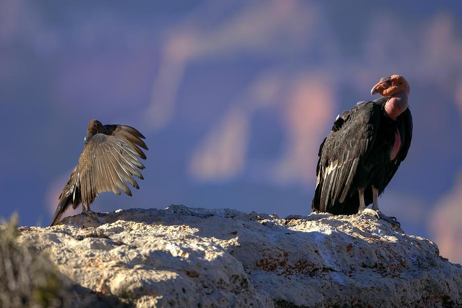 California Condor Photograph - Conversation by Kiril Kirkov