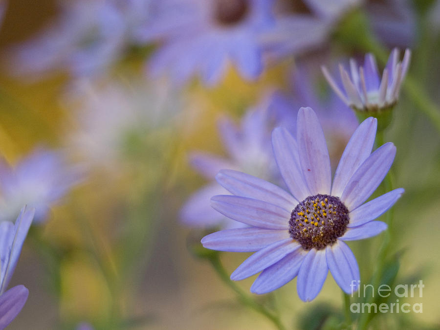 Cool Senetti Golden Dreams Photograph  - Cool Senetti Golden Dreams Fine Art Print