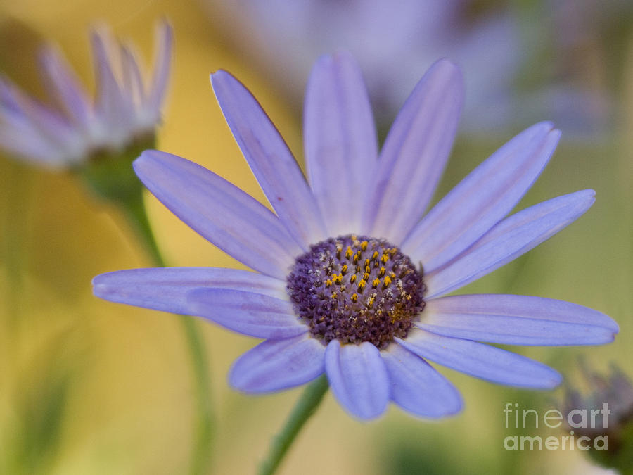 Cool Senetti Golden Mood II Photograph  - Cool Senetti Golden Mood II Fine Art Print