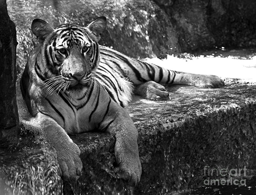 Cool Waters - Tiger Photograph  - Cool Waters - Tiger Fine Art Print