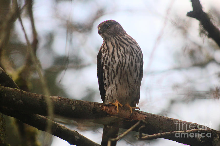 Animals Photograph - Coopers  Hawk Dines Here by Kym Backland