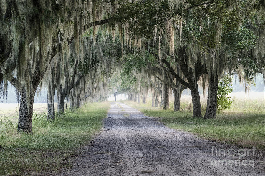 Coosaw Fog Avenue Of Oaks Photograph  - Coosaw Fog Avenue Of Oaks Fine Art Print
