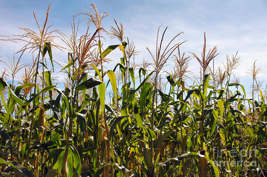 Corn Production Photograph