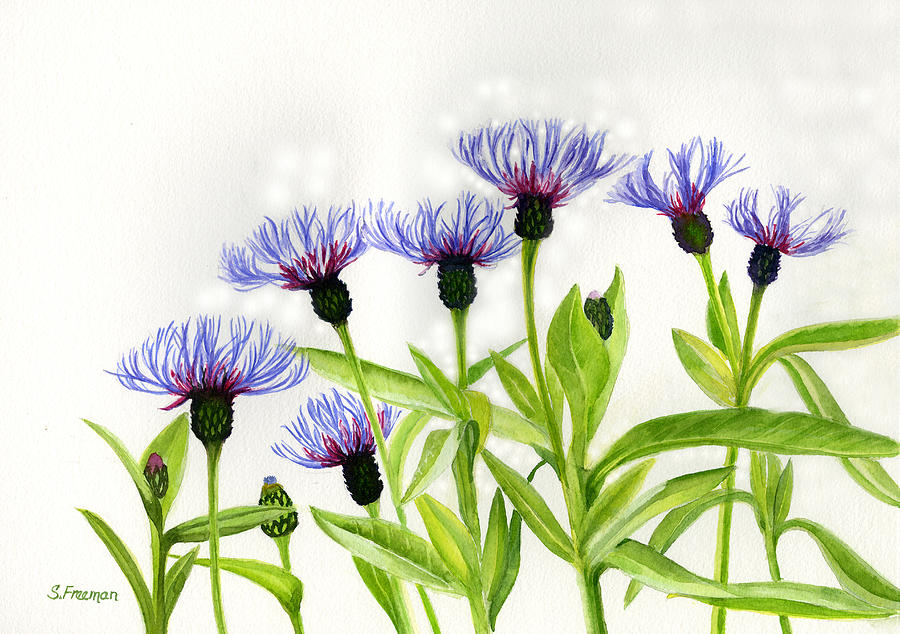 Cornflower Painting - Cornflowers by Sharon Freeman