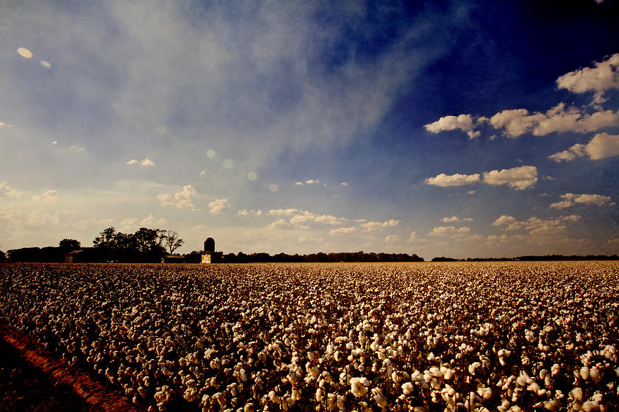 Cotton Field Photograph
