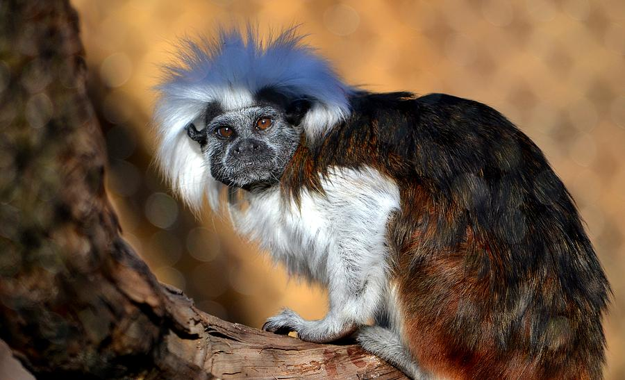 Cotton-top Tamarin is a photograph by Deena Stoddard which was ...