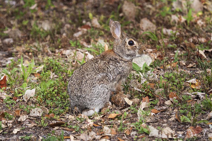 Cottontail rabbit habitat - photo#6