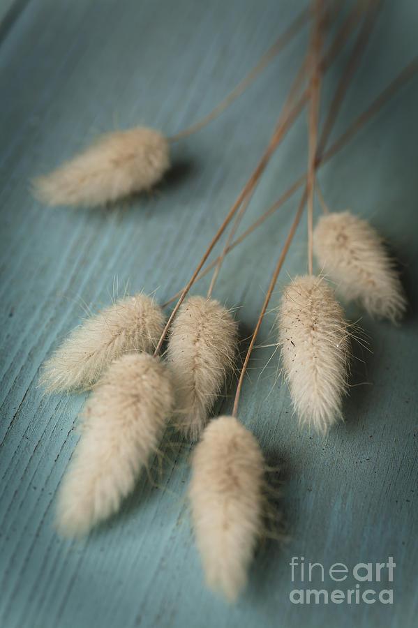 Cottontails On Blue Photograph