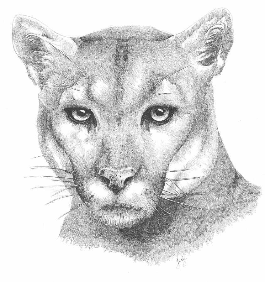 Cougar Face Line Drawing : Mountain lion face drawing