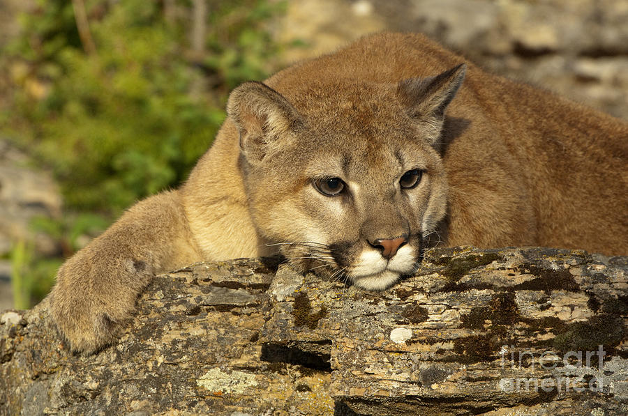Cougar Photograph - Cougar On Lichen Rock by Sandra Bronstein