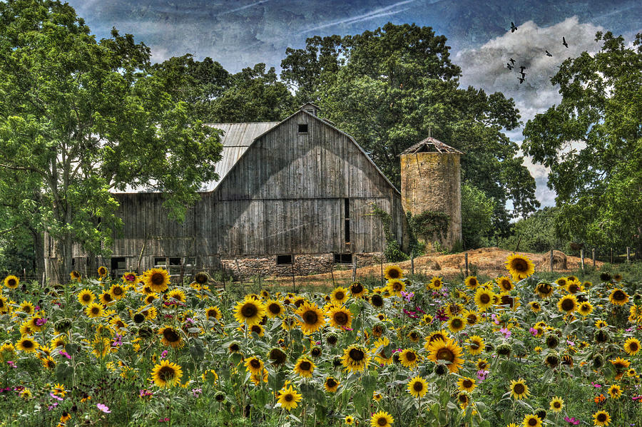 Country Sunflowers Photograph  - Country Sunflowers Fine Art Print