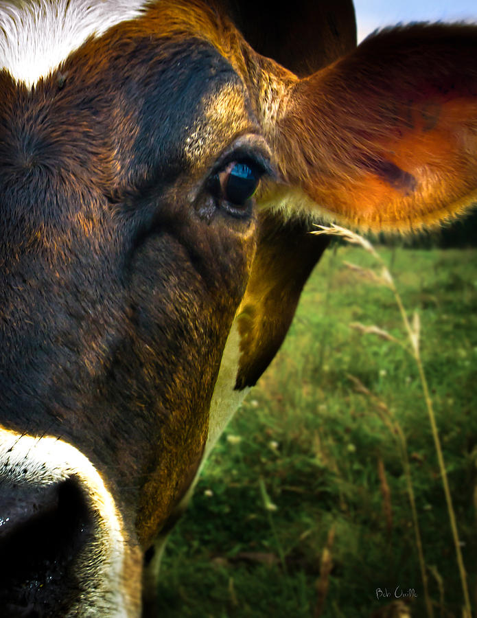 Cow Eating Grass Photograph  - Cow Eating Grass Fine Art Print