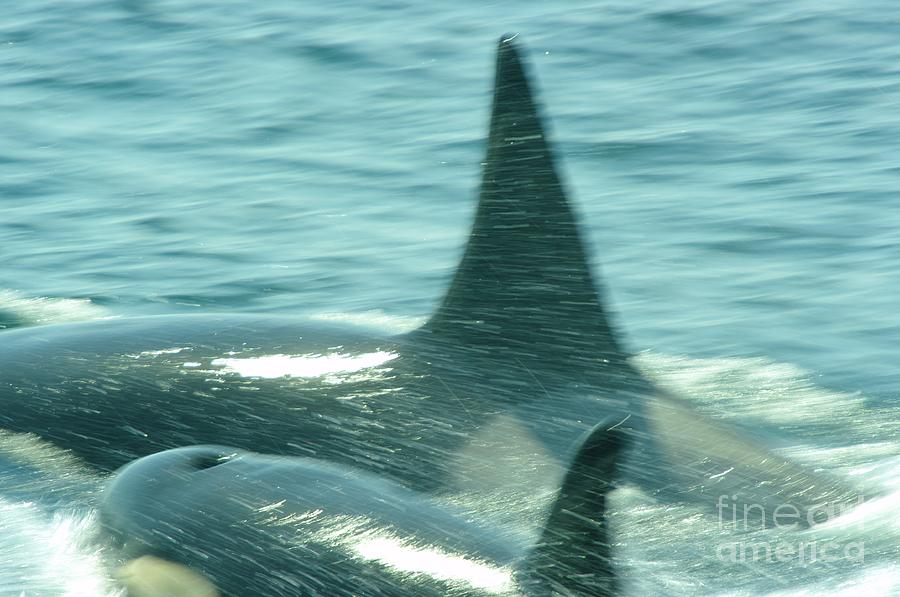Orcas Photograph - Cow Orca And Her Calf by Jeff Swan
