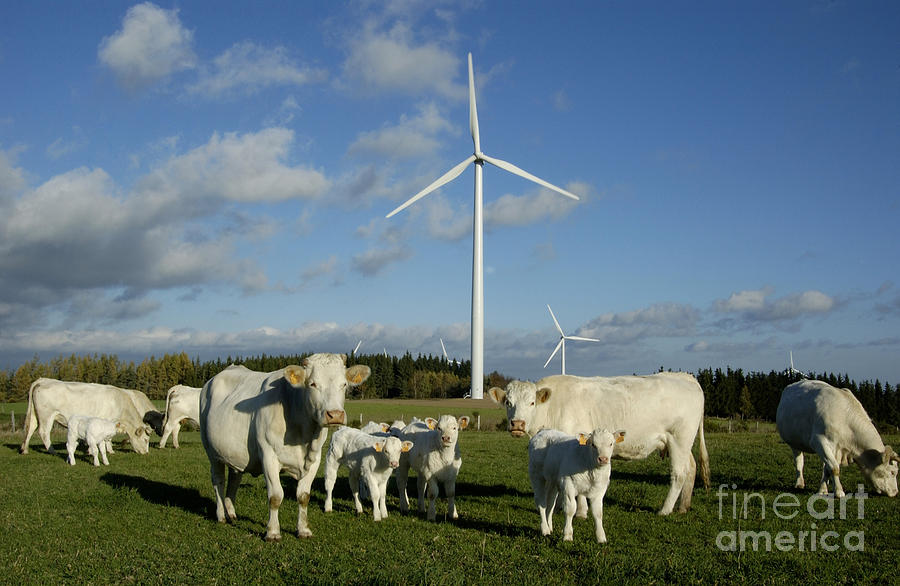 Cows And Windturbines Photograph  - Cows And Windturbines Fine Art Print