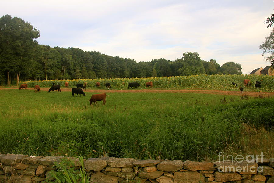 Cows At Buttonwood Photograph  - Cows At Buttonwood Fine Art Print