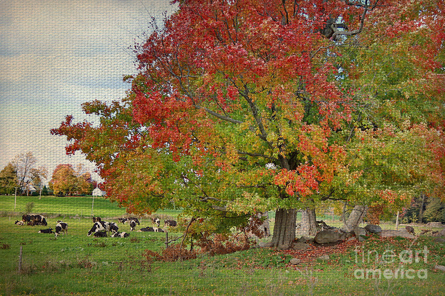 Cows In Autumn Photograph  - Cows In Autumn Fine Art Print