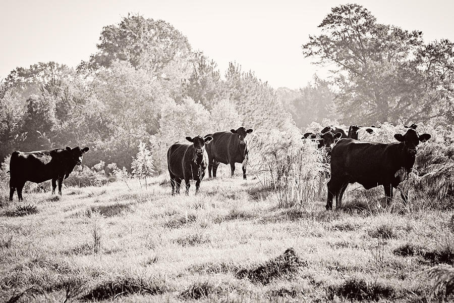 Cows Photograph  - Cows Fine Art Print
