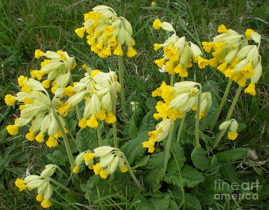 Cowslips Wildflowers. Photograph  - Cowslips Wildflowers. Fine Art Print