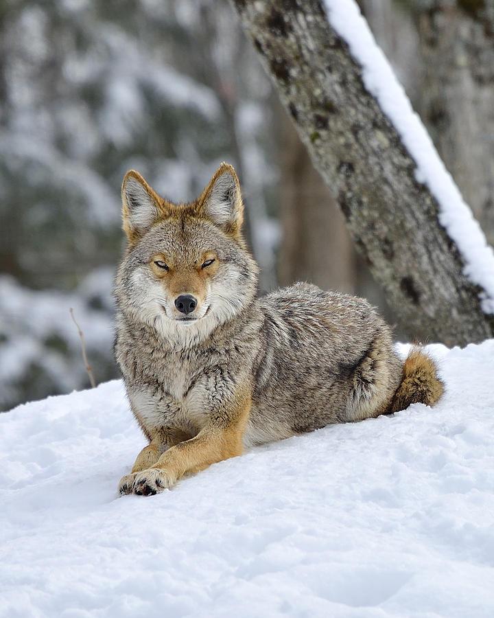 Coyote Beauty Photograph