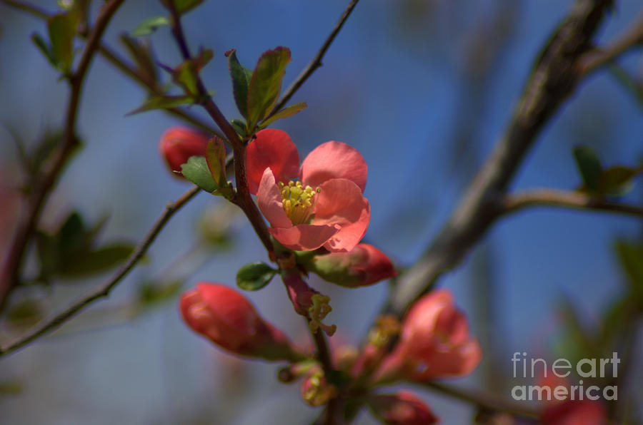 Crab Apple Bush Photograph  - Crab Apple Bush Fine Art Print